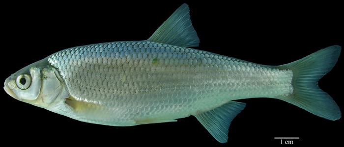 Other Cyprinids : ACSI - Mongolia - Cyprinidae (other)