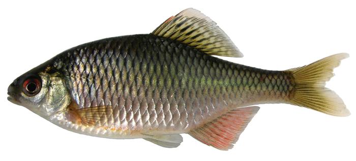 ACSI - Mongolia - Cyprinidae (other)